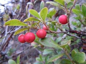 Tanaman Obat Tradisional Untuk Batu Ginjal Paling Ampuh
